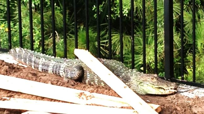 Nature On Your Doorstep Deland Florida Gators Vicgardens Sunnin It Resident Gator at Victoria Gardens, Deland Florida