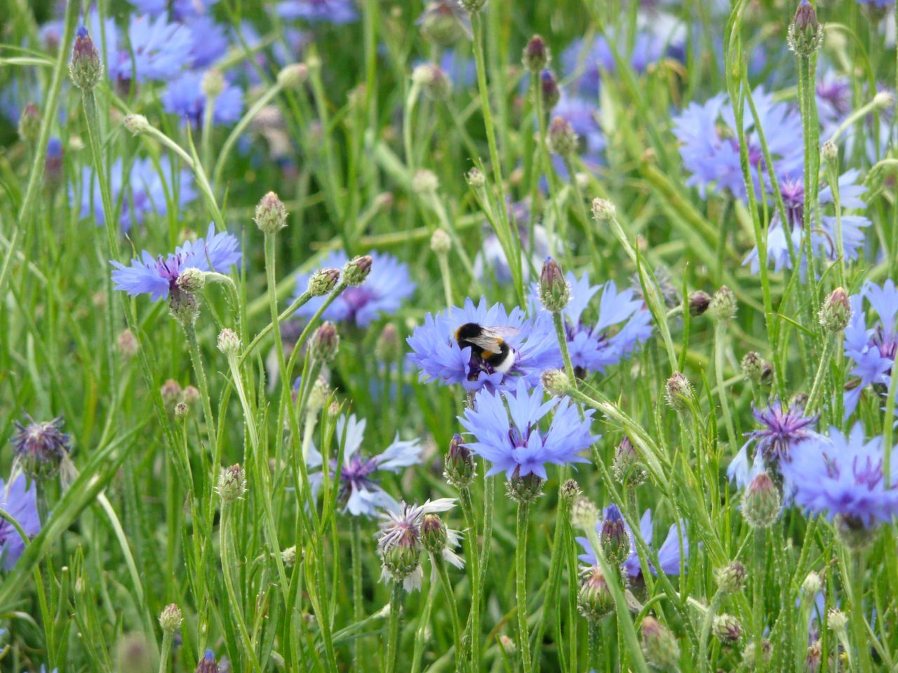 Flower Head Beauty In Nature BlueBottle Pollination Outdoors Purple Bachelor Buttons Plant Garden Cornflower Freshness Animals In The Wild Fragility Petal Blue Day Flower Lavender Summer Meadow Summer Fields Of Green Cornflower Cornfield Grass Summer Fields Crocus Field