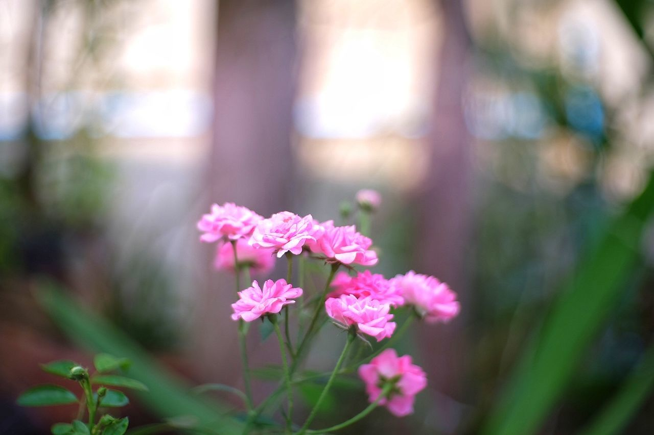 pink color, focus on foreground, flower, nature, day, growth, close-up, fragility, beauty in nature, no people, petal, blooming, outdoors, freshness, flower head