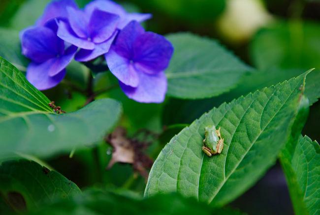 カエル🐸♪ Frog 二本松寺 あじさいの杜 Hydrangea 紫陽花 あじさい Flower Collection Flower EyeEm Best Shots
