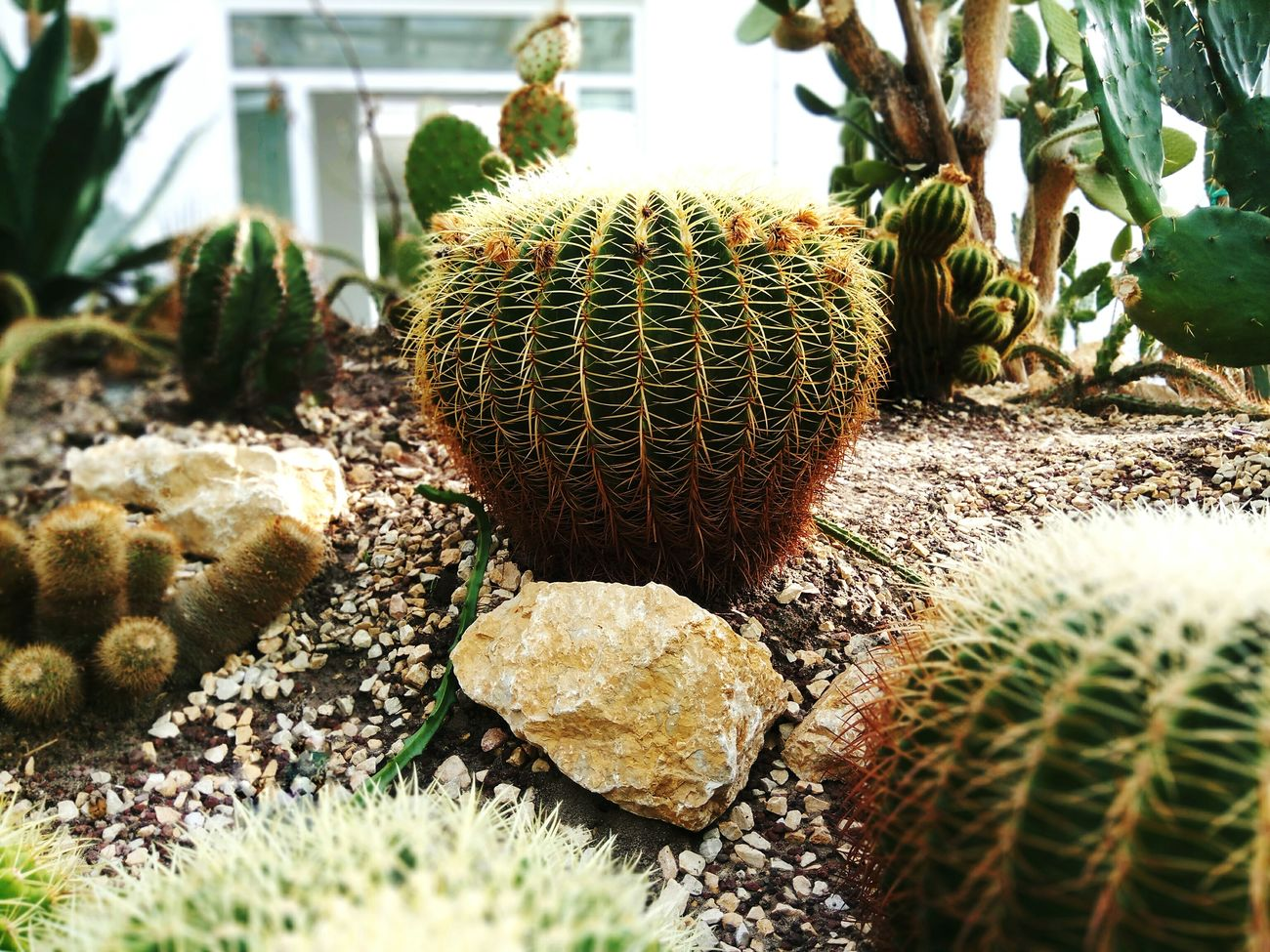 🌵 Green Leaf Leaf Beauty In Nature Green Color Needle - Plant Part Nature Plant Tree Growth Plant Barrel Cactus Cactus Nature Sunlight No People Close-up Day Greenhouse 🌵 Cactus 😚