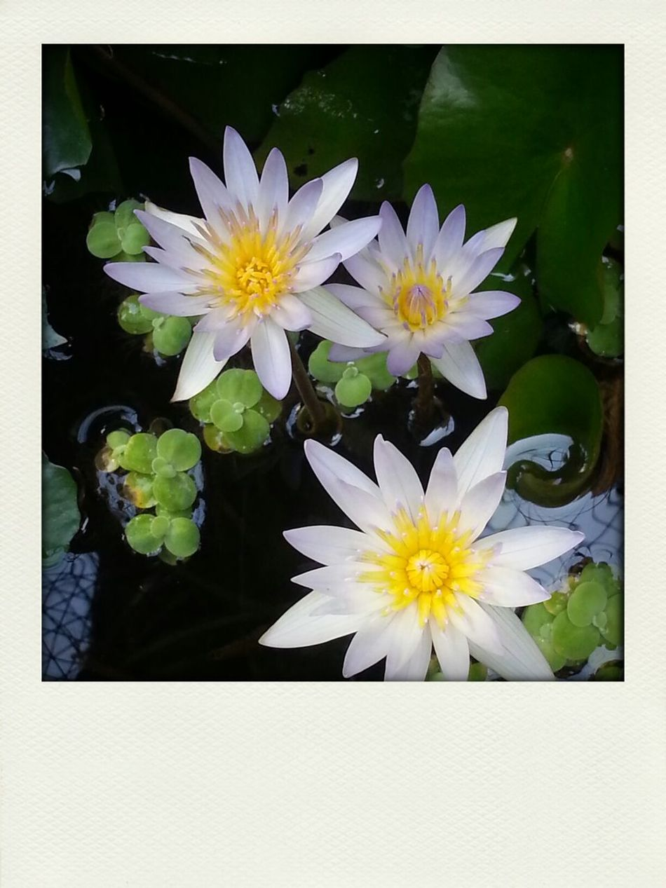 Nofilter Flower Waterlily Home