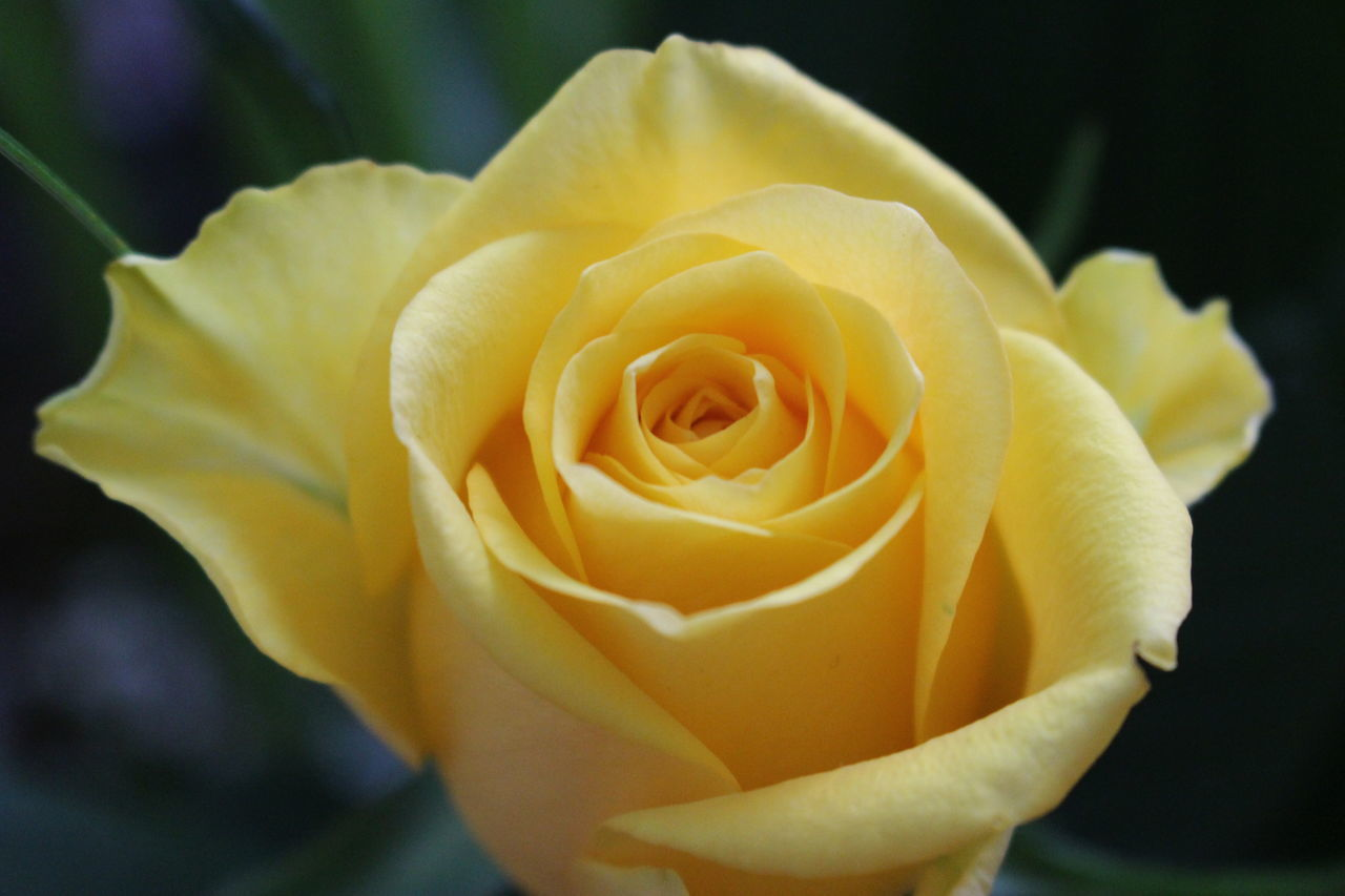flower, petal, flower head, rose - flower, nature, fragility, freshness, growth, beauty in nature, close-up, plant, yellow, no people, outdoors, blooming, day