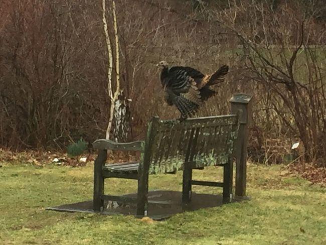 Turkey Bench Bird Big Bird Fat Bird Landscape Showcase April