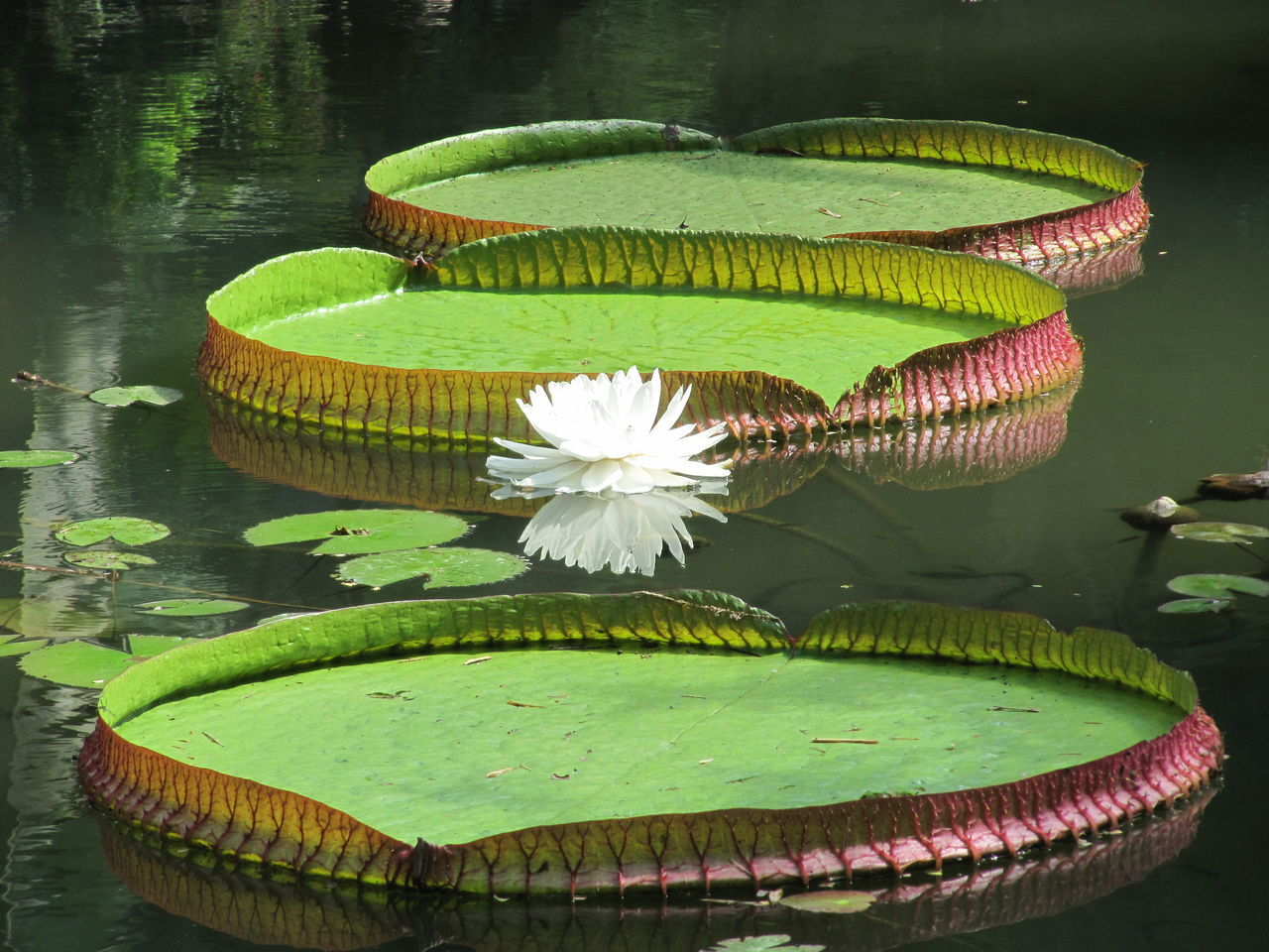 Beauty In Nature Floating On Water Flower Flower Head Fragility Green Color Leaf No People Rio De Janeiro's Botanical Garden Vitoria Regia Water Water Lily