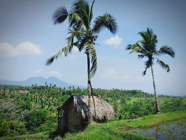 Hidden jems of Bali...had a lond day trekking the rice fields;) Blue Sky Palm Trees Tropical Paradise Outdoors Exotic Coconut Trees Bali, Indonesia Bali Ricefields Paddy Field Rural Green Beautiful Candidasa Bali Iphone6 Holiday Travel Iphone6plus INDONESIA IPhoneography Eat, Pray,Love Balinese Life IPhone Landscapes With WhiteWall