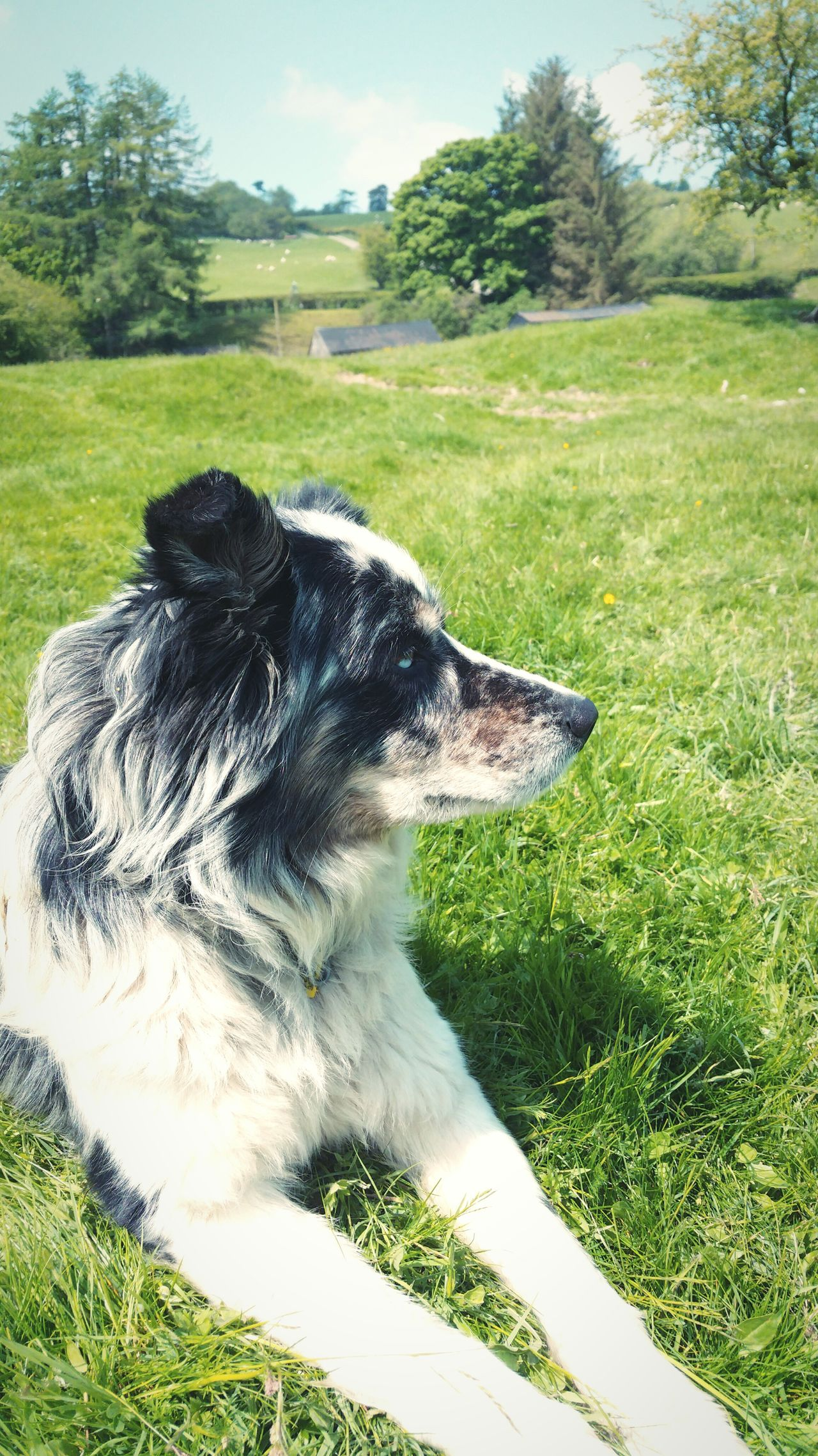 ... Tom the Sheepdog ... собака овчарка Farmland Farm Wales Animals Field Pasture Outdoors Dog Mammal Domestic Animals One Animal Grass Animal Themes Merle Blue Merle Dogs Blue Eyed Dog Border Collie бордер колли пес собаки