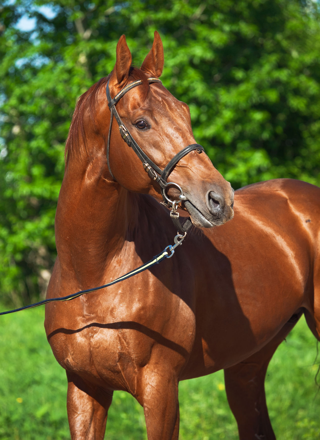 portrait of beautiful sportive red horse Animal Themes Bridle Chestnut Day Domestic Animals Horse Livestock Mammal Mane Nature No People One Animal Outdoors Sportive Stallion Working Animal