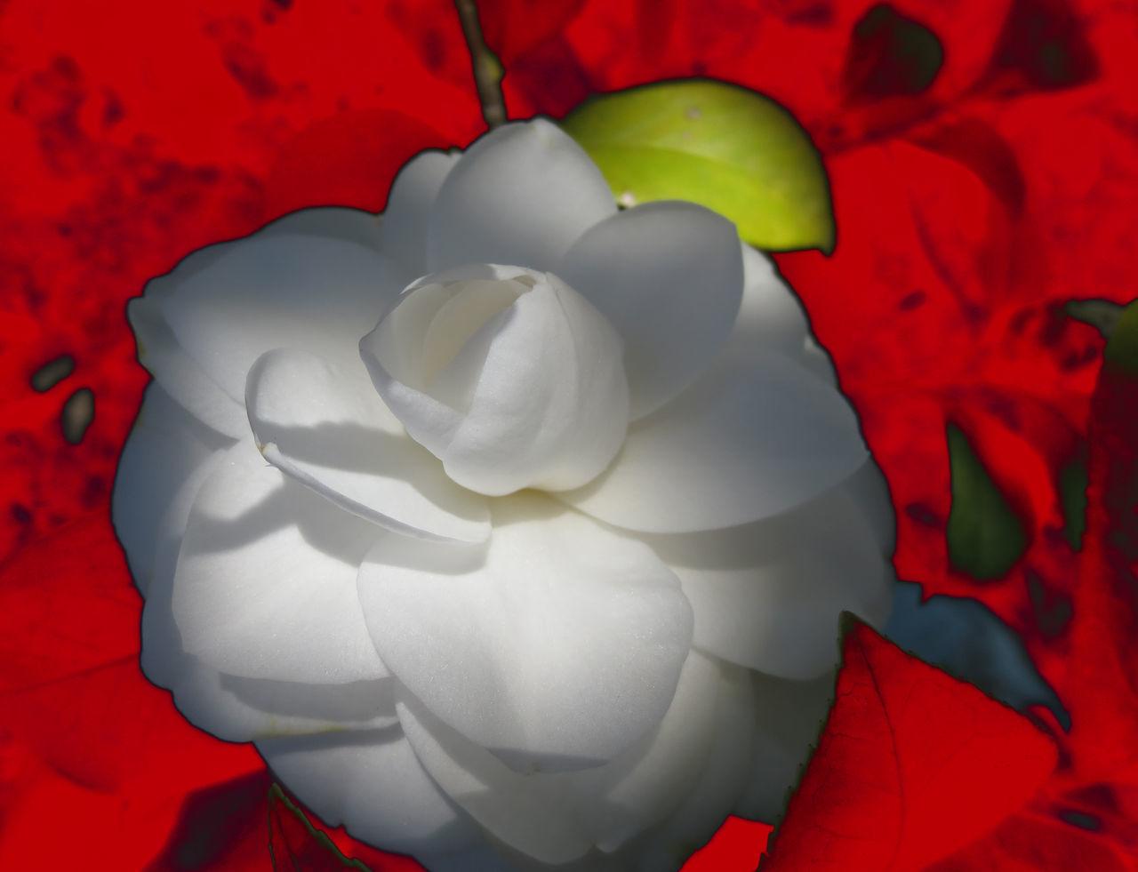 Camelia Camellia Flower Camera Malfunction Flower Red Single Flower White Color