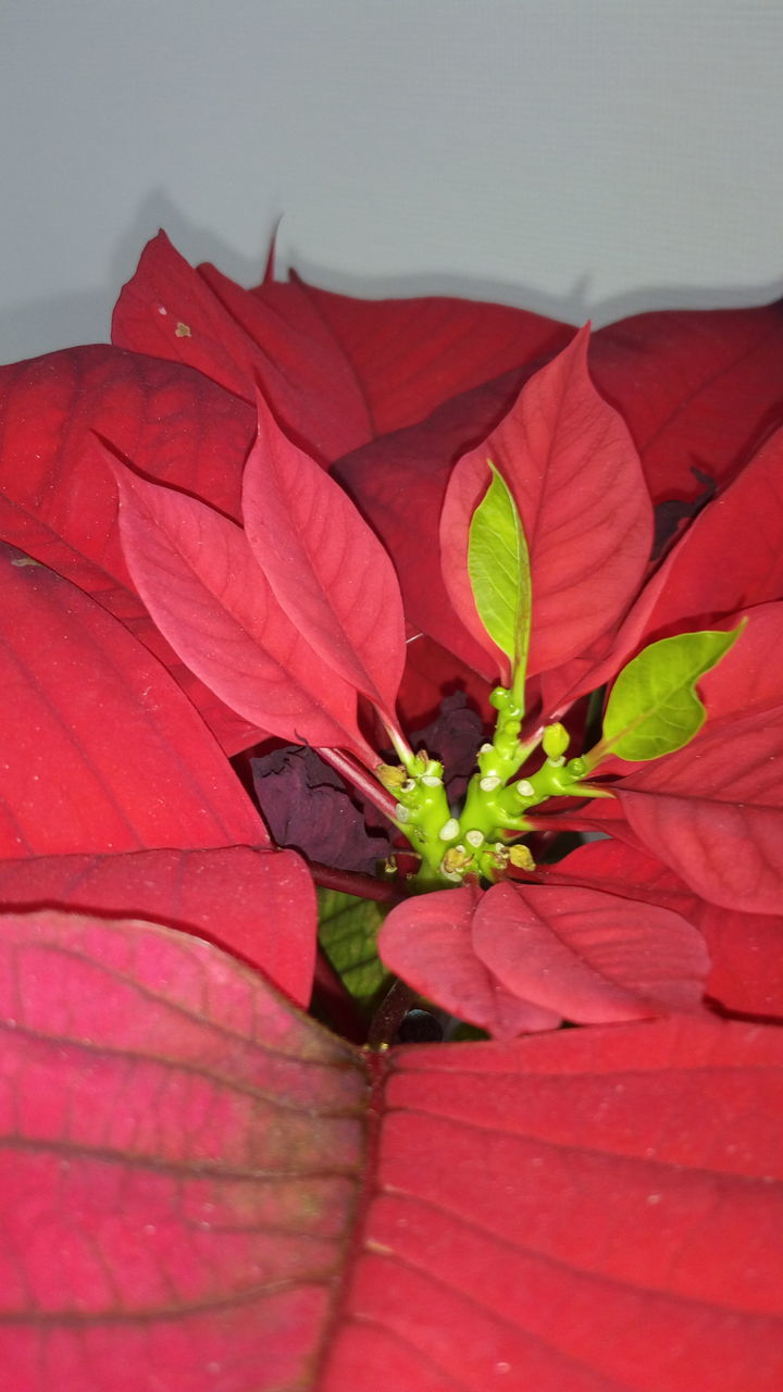 leaf, red, plant, growth, no people, nature, close-up, beauty in nature, fragility, day, outdoors, freshness, flower head