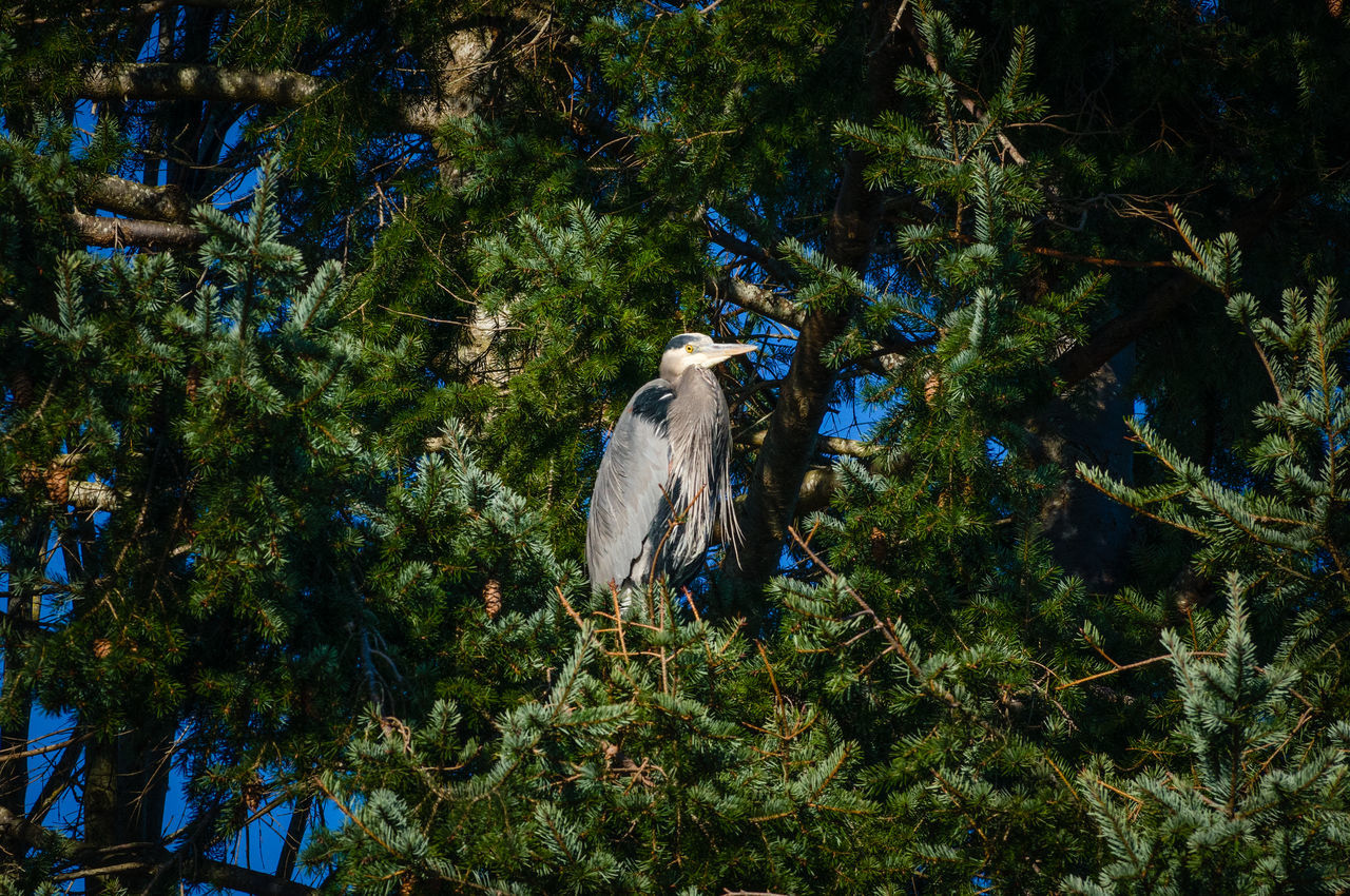 Beauty In Nature Blue Heron Bird Branch Day Growth Low Angle View Nature No People Outdoors Sky Tree