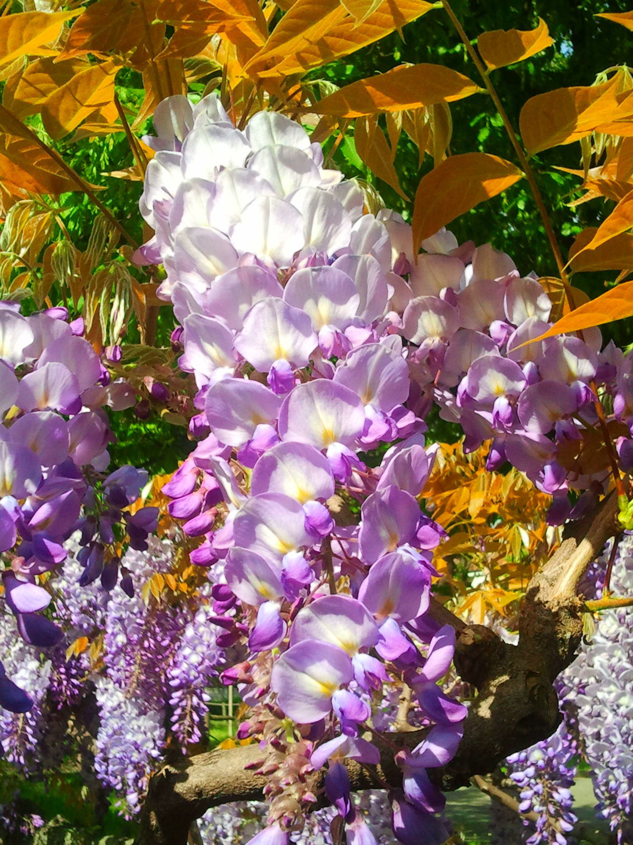 Glicine prima della tempesta ... Abundance Beauty In Nature Blooming Blossom Botany Day Flower Fragility Freshness Garden Flowers Glicine Growth In Bloom Nature No People Outdoors Plant Purple Showcase April Spring Flowers Spring Into Spring Wisteria Wisteria Flowers