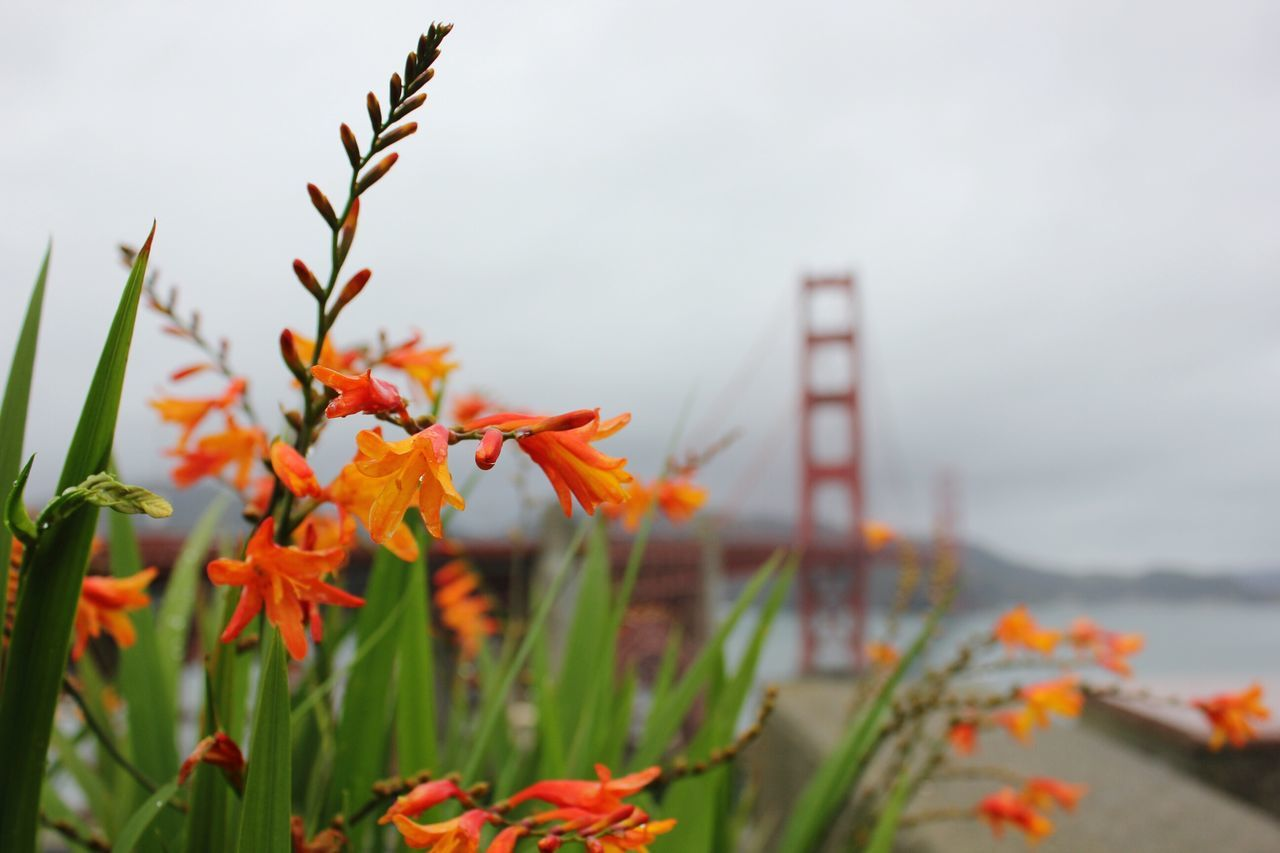 Golden Gate Bridge San Francisco Flower Nature Plant Growth Northern California Bridge Bay Area California Calm Autumn Outdoors Close-up Scenics Water Travel Travels Travel Shots Urban City By The Bay Norcal Cloudy Tranquility WestCoast