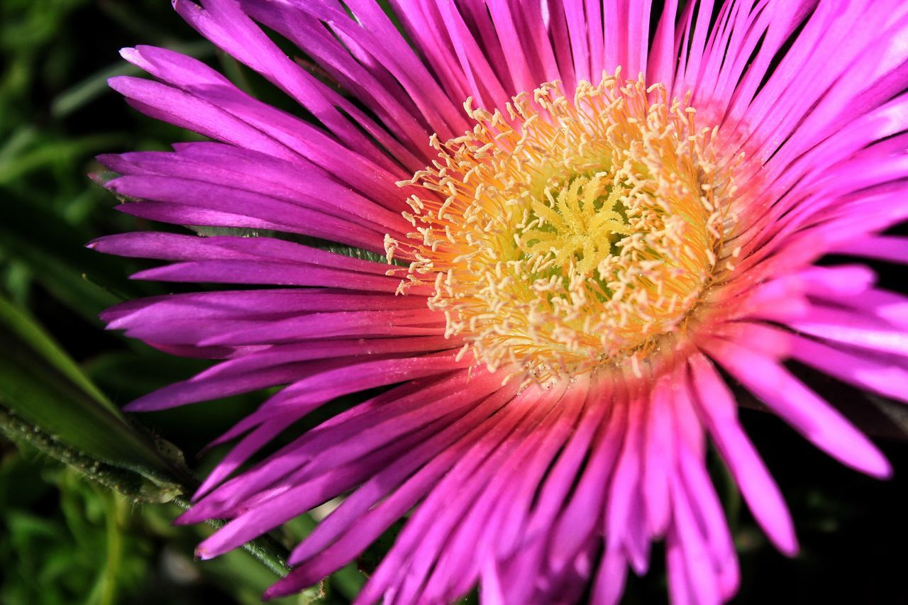 Flower Fragility Petal Flower Head Beauty In Nature Freshness Pollen Nature Close-up Pink Color Growth Plant Blooming Outdoors Gerbera Daisy No People Passion Flower Yellow Color Purple Flower Purple Open Daisy Purple And Yellow Purple And Yellow Flowers Mauve Flower Mauve Colour