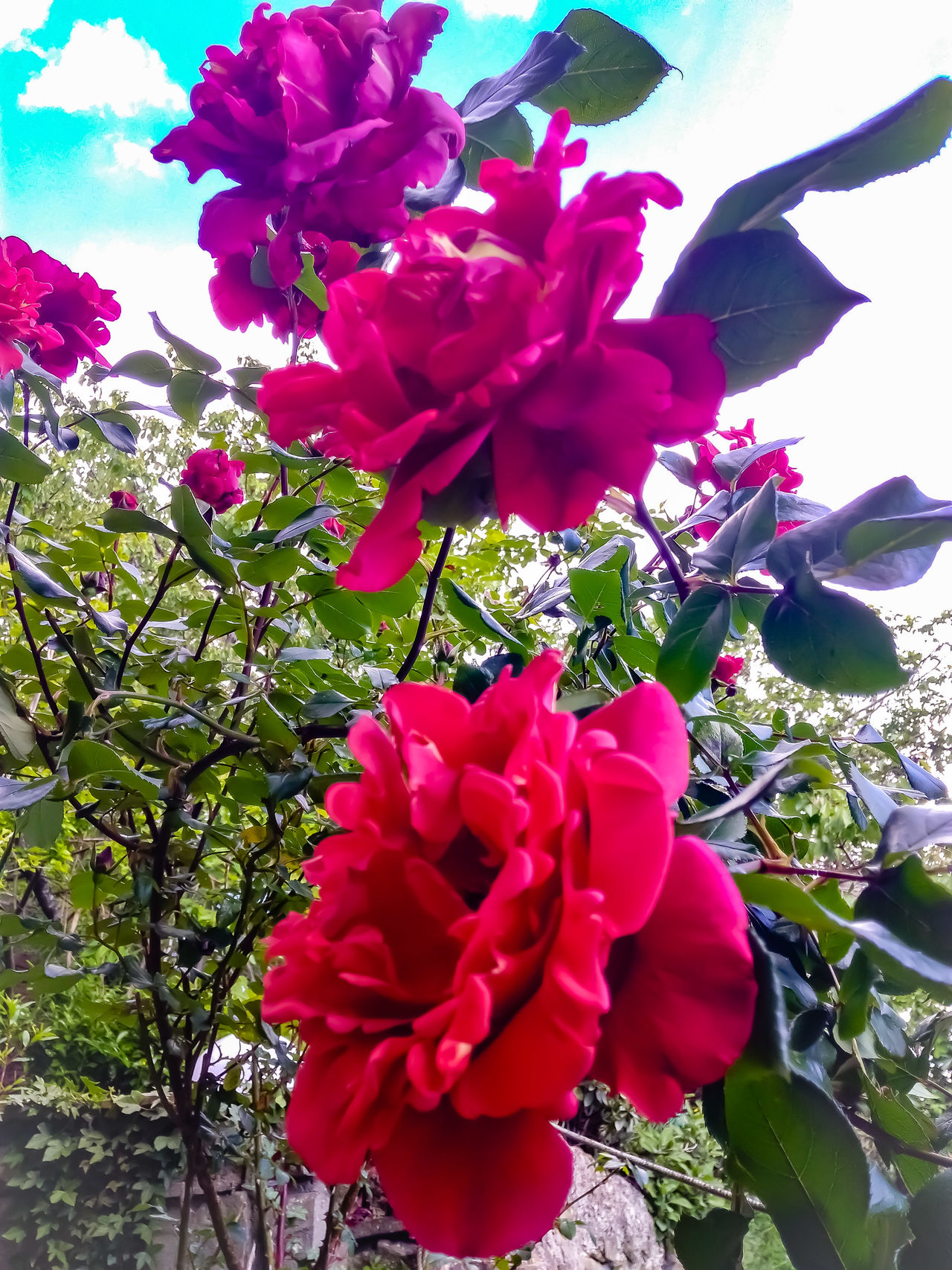 Flower Nature Petal Color Explosion Countryhouse Mygardentoday Garden Photography Roses Rose - Flower Springtime My Garden @my Home Huaweiphotography Beauty In Nature