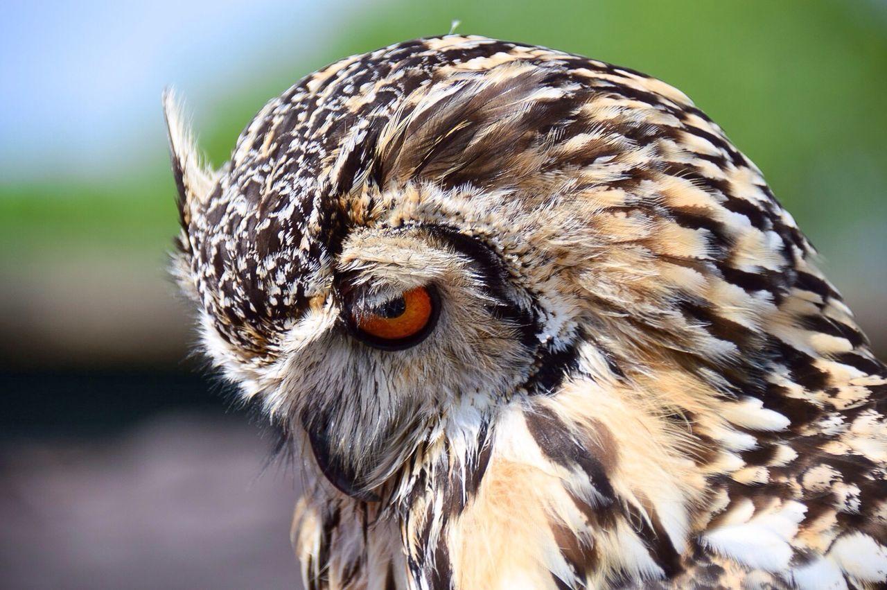 Beautiful stock photos of owl, Animal Behavior, Animal Head, Animal Markings, Animal Themes