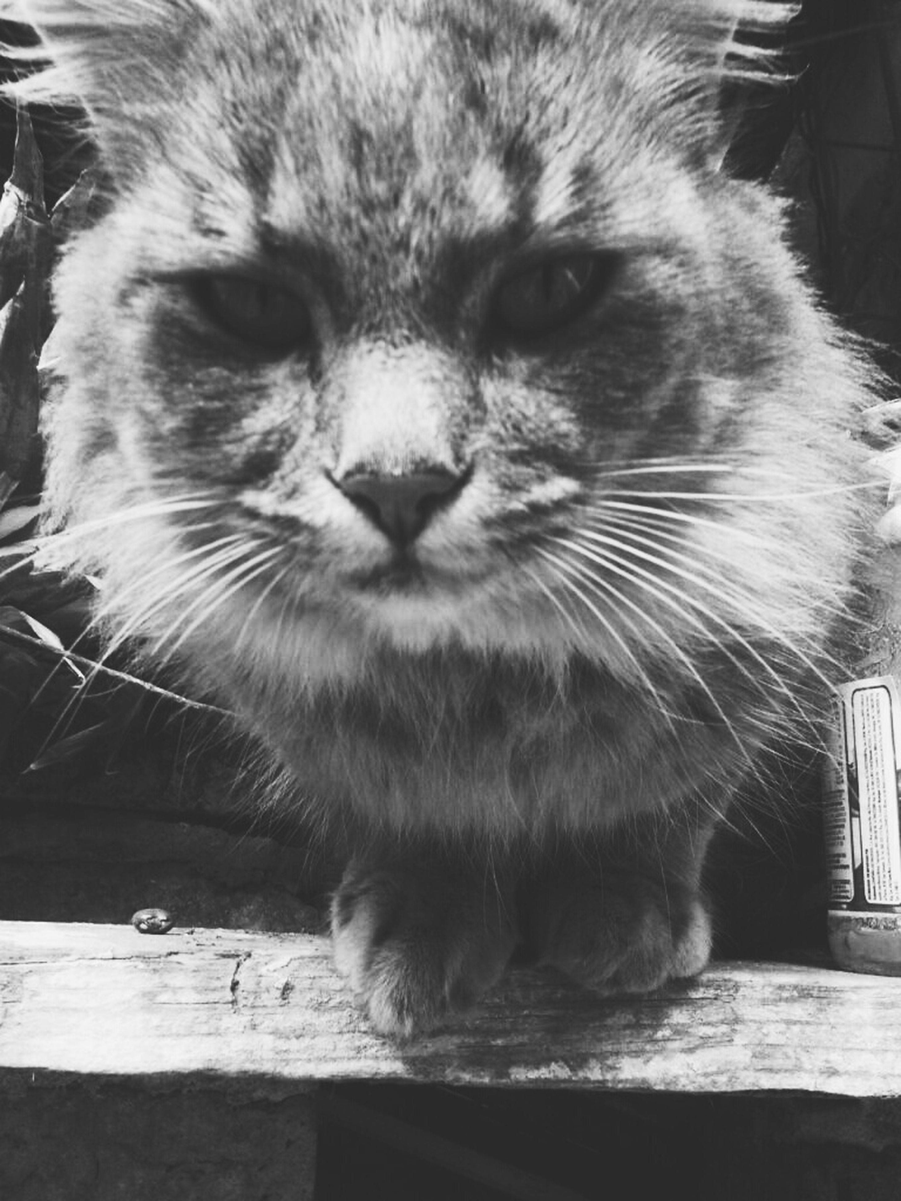 one animal, animal themes, mammal, pets, domestic animals, domestic cat, cat, feline, whisker, indoors, close-up, relaxation, animal head, looking away, portrait, sitting, focus on foreground, no people, wood - material