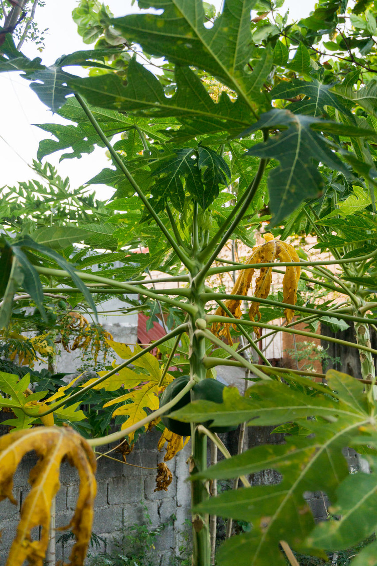 Jack fruit on a tree in a rural settine in the Philippines 2017 Focus On Foreground Fruits Jack Fruit/lanka Outdoor Outdoor Photography Outdoors People Rural Collection Tropical Fruits
