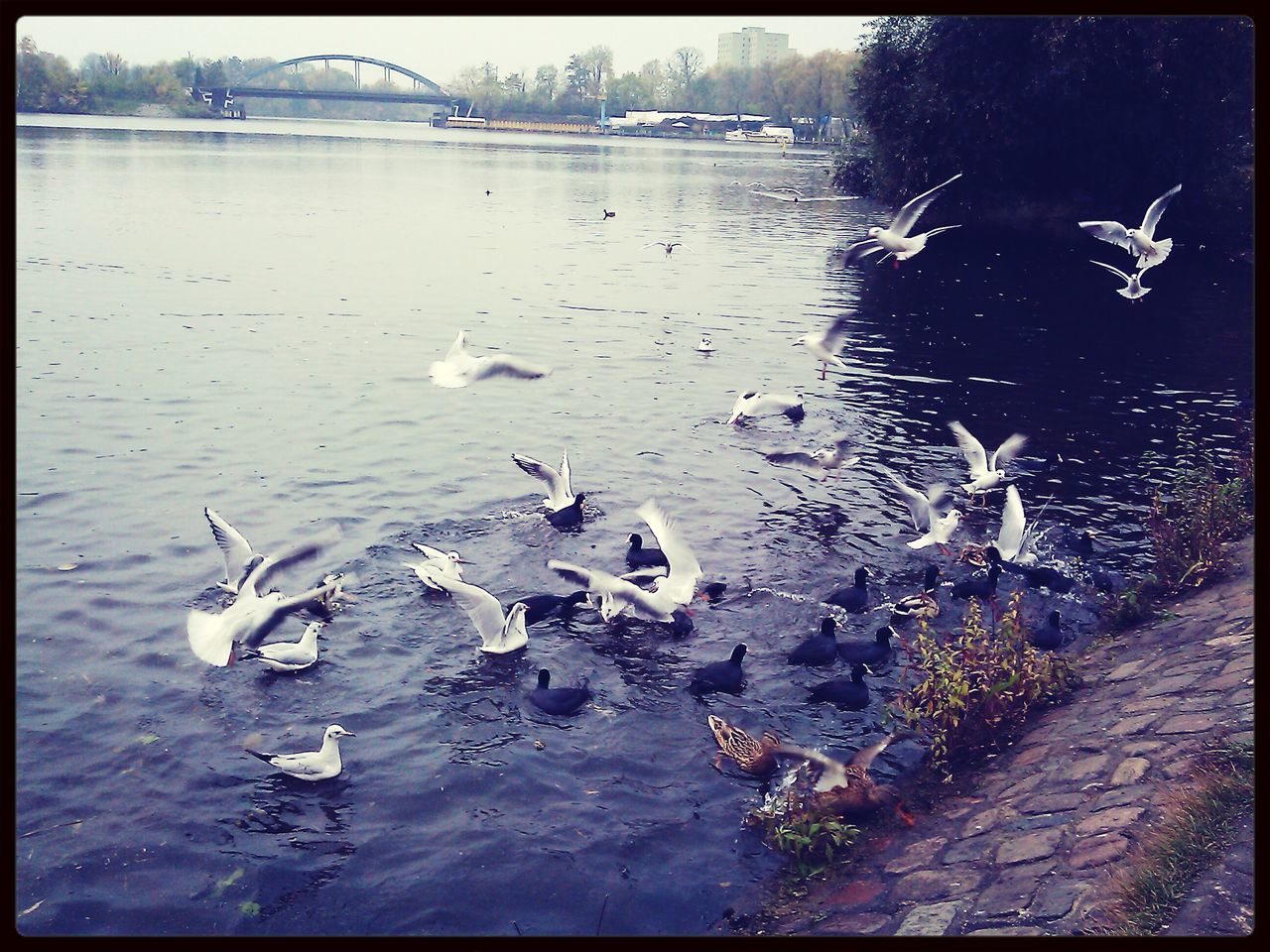 Seagulls And Ducks On River