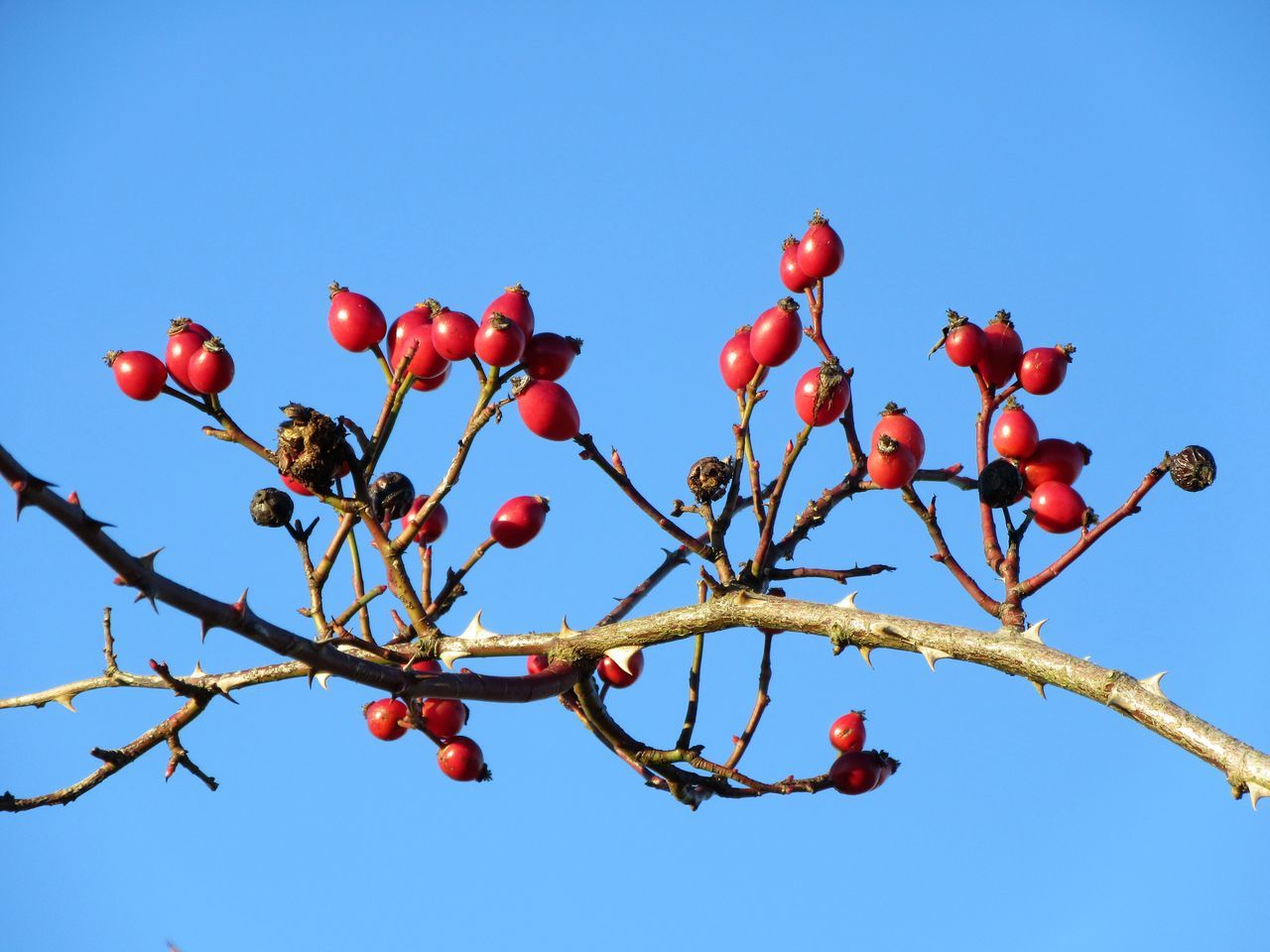 Rosehips against a blue sky Beauty In Nature Blue Sky Clear Sky Day Fruit Low Angle View Nature No People Outdoors Red Rose Hip Rose Hips Sky