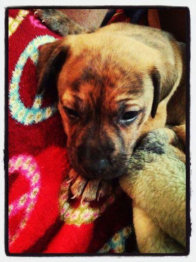 My baby Sheba First Eyeem Photo Pit Bulls Cute Pets