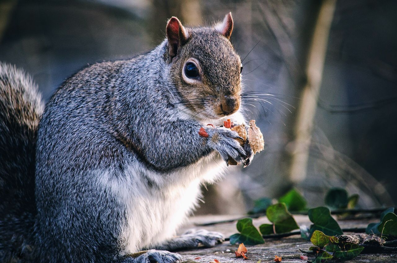 One Animal Animal Themes Animals In The Wild Eating Mammal Animal Wildlife Squirrel Outdoors Food No People Nut Nutella Nature Close-up
