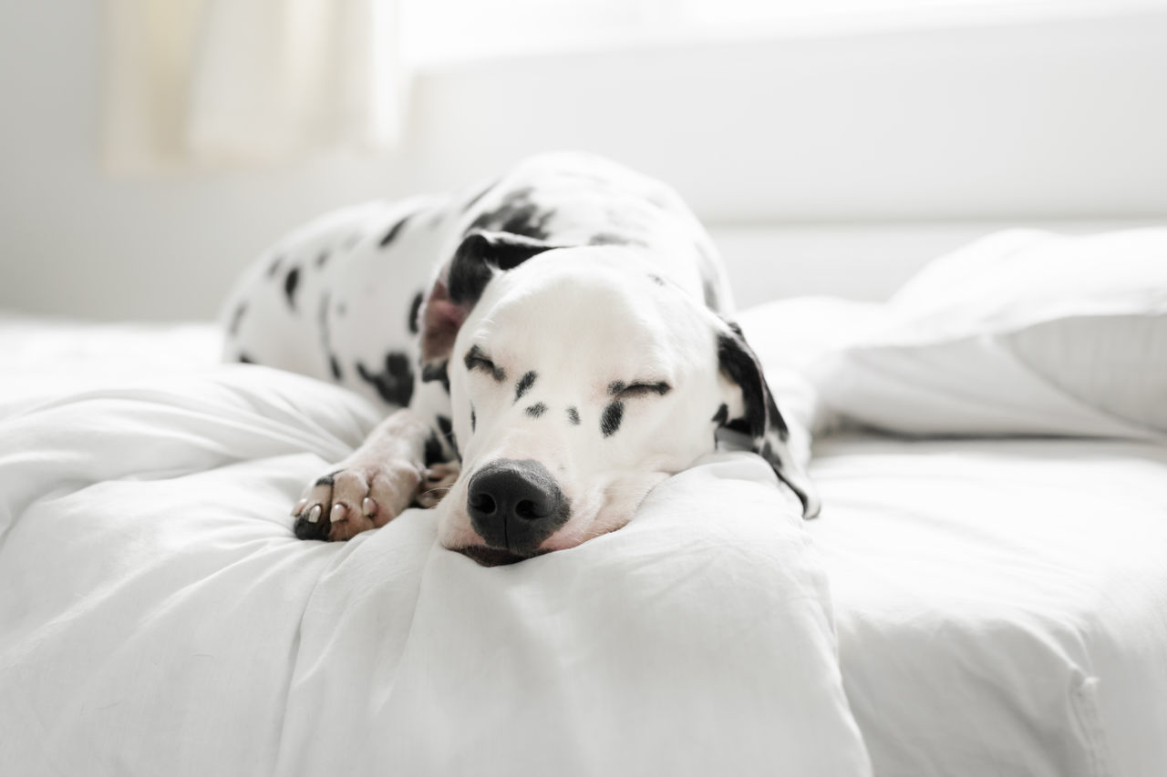Beautiful stock photos of hunde, Animal Head, Animal Themes, Bed, Bedroom