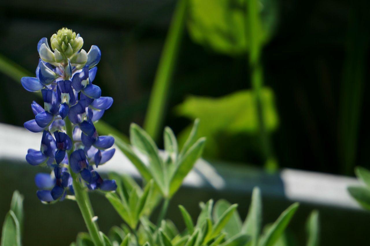 Beautiful stock photos of texas,  Blooming,  Bluebonnet,  Botany,  Close-Up