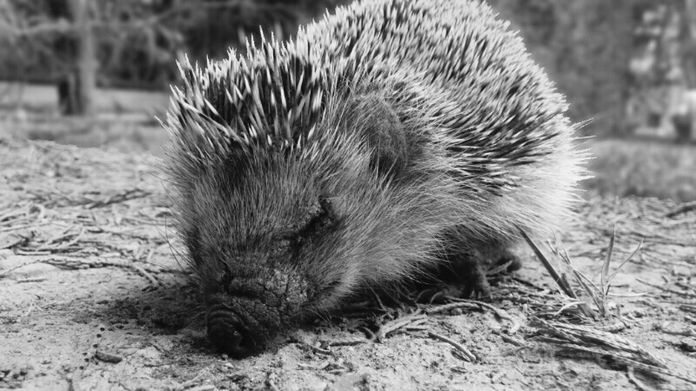 Wildlife Photography LG G3 Photography Beautiful Creature Hedgehog Close-up EyeEm Best Shots - Black + White Black And White Collection
