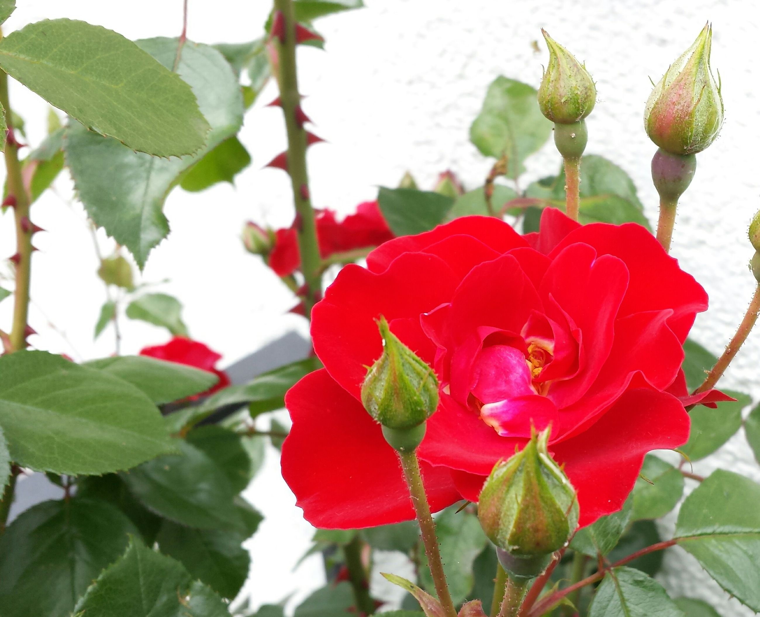 flower, petal, freshness, leaf, growth, fragility, flower head, red, close-up, beauty in nature, plant, rose - flower, blooming, nature, focus on foreground, single flower, in bloom, blossom, bud, botany