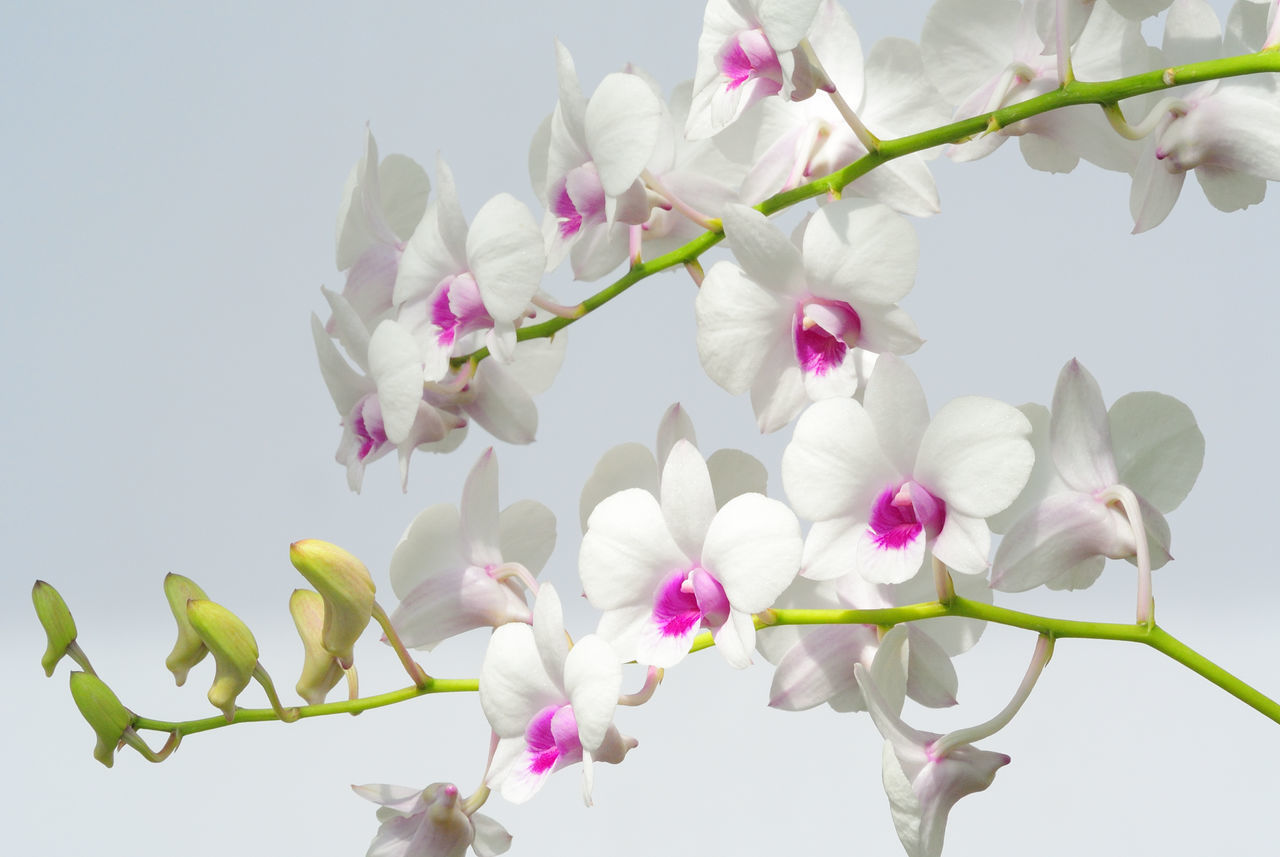 Beautiful stock photos of orchid, Bangkok, Beauty In Nature, Close-Up, Flower