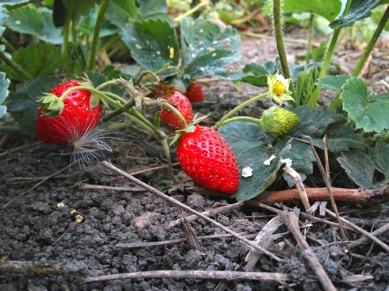 Fresh delicious strawberries growing now. Plant Nature Red Day Outdoors Beauty In Nature Green Color Ukraine Strawberries Fruits Fresh Fresh On Eyeem  Delicious Tasty Vegetarian Food Healthy Growing Food
