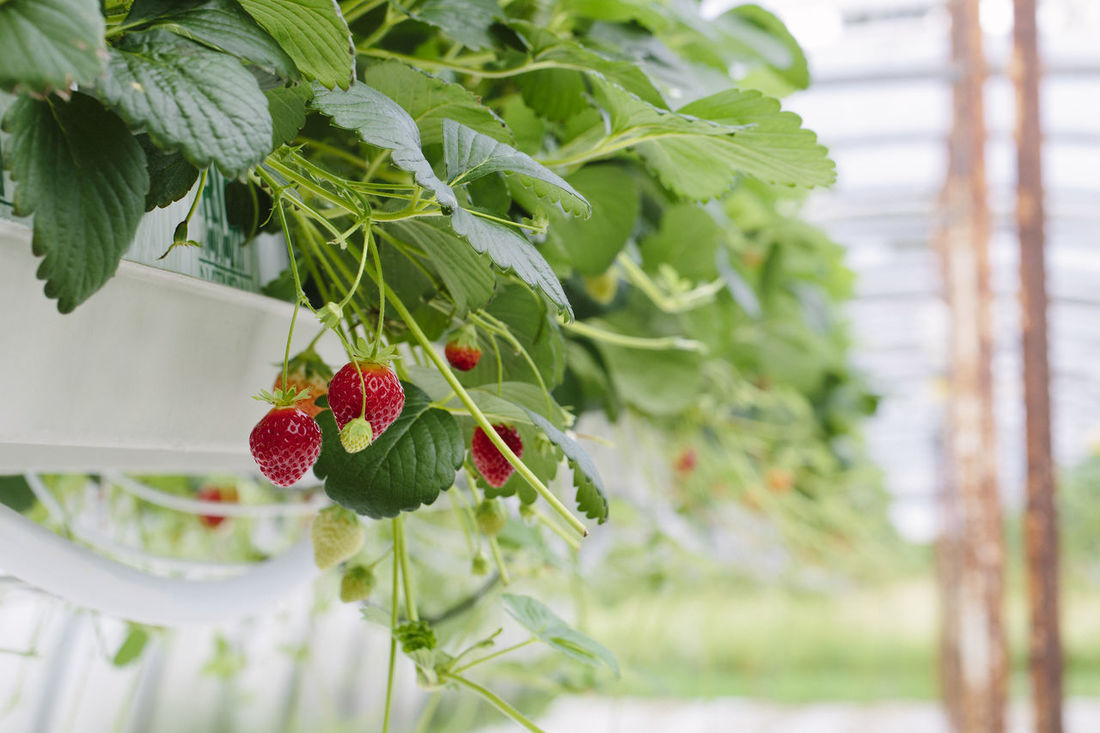 Greenhouse soilless cultivation of strawberries Agriculture Beauty In Nature Business Close-up Crop  Cultivation Day Farm Focus On Foreground Food Food And Drink Freshness Fruit Green Color Greenhouse Growth Healthy Eating Leaf Nature No People Plant Ripe Soilless Strawberry