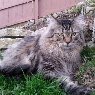 Jojo doing what he does best lounging around & posing for pictures. Jojo Cat Pet Feline animal companion bestfriend mainecoon