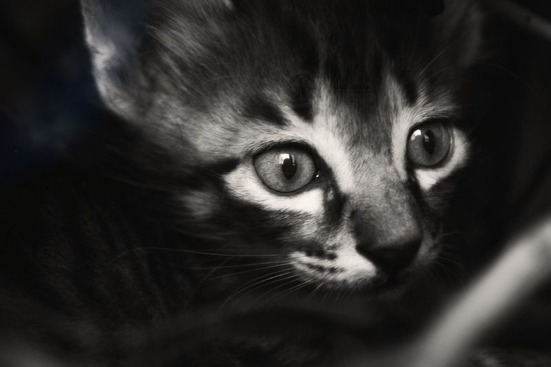 The Eyes Blackandwhite Monochrome Kitten Feline Cat Animals Pets