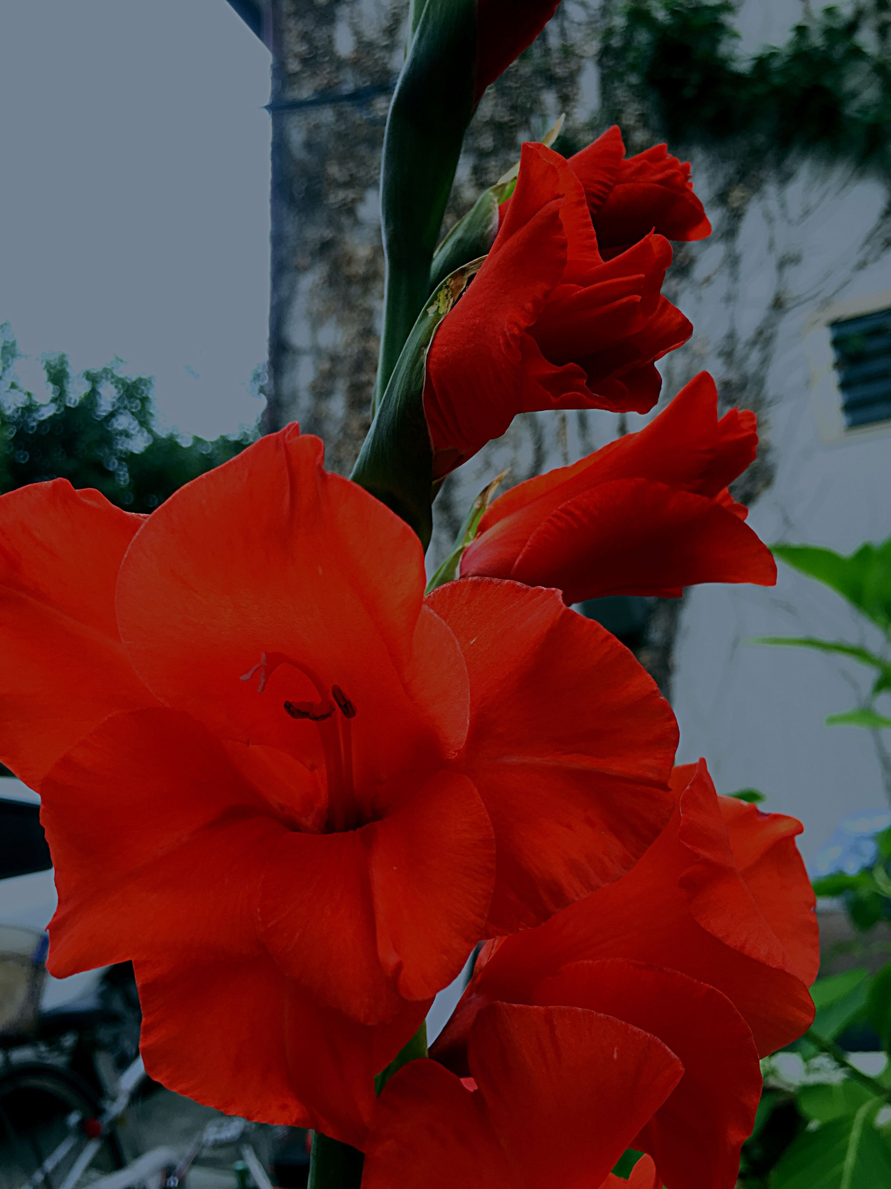 red, flower, petal, flower head, fragility, freshness, growth, close-up, focus on foreground, beauty in nature, blooming, plant, nature, orange color, leaf, stamen, in bloom, single flower, pollen, day
