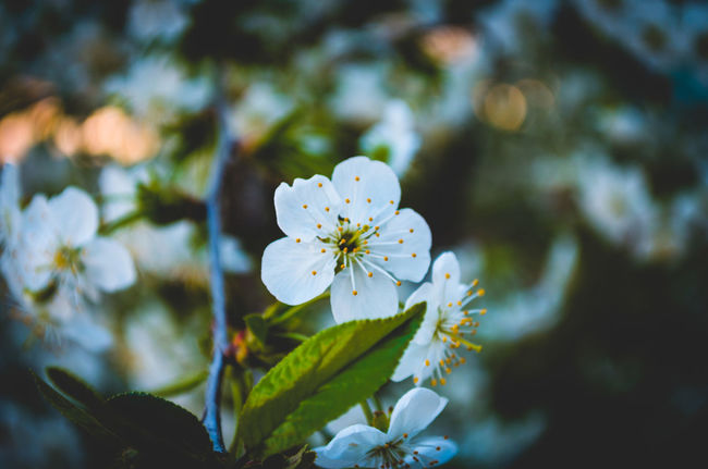 Beauty In Nature Botany Cherry Blossom City Flower In Bloom Nature Pskov Russia Springtime White Color