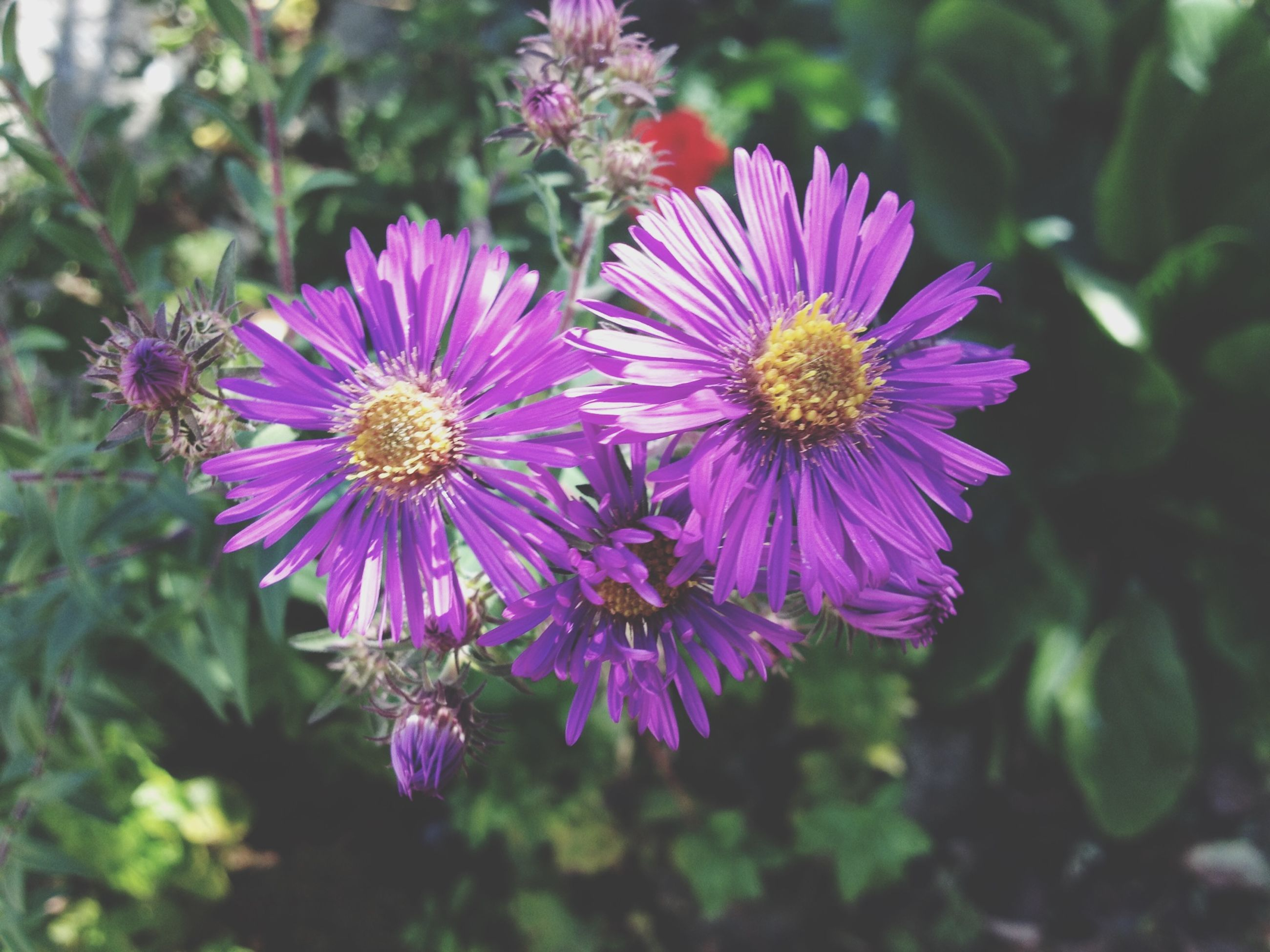 flower, freshness, petal, fragility, flower head, growth, beauty in nature, purple, close-up, focus on foreground, pollen, blooming, nature, plant, pink color, in bloom, high angle view, day, no people, outdoors