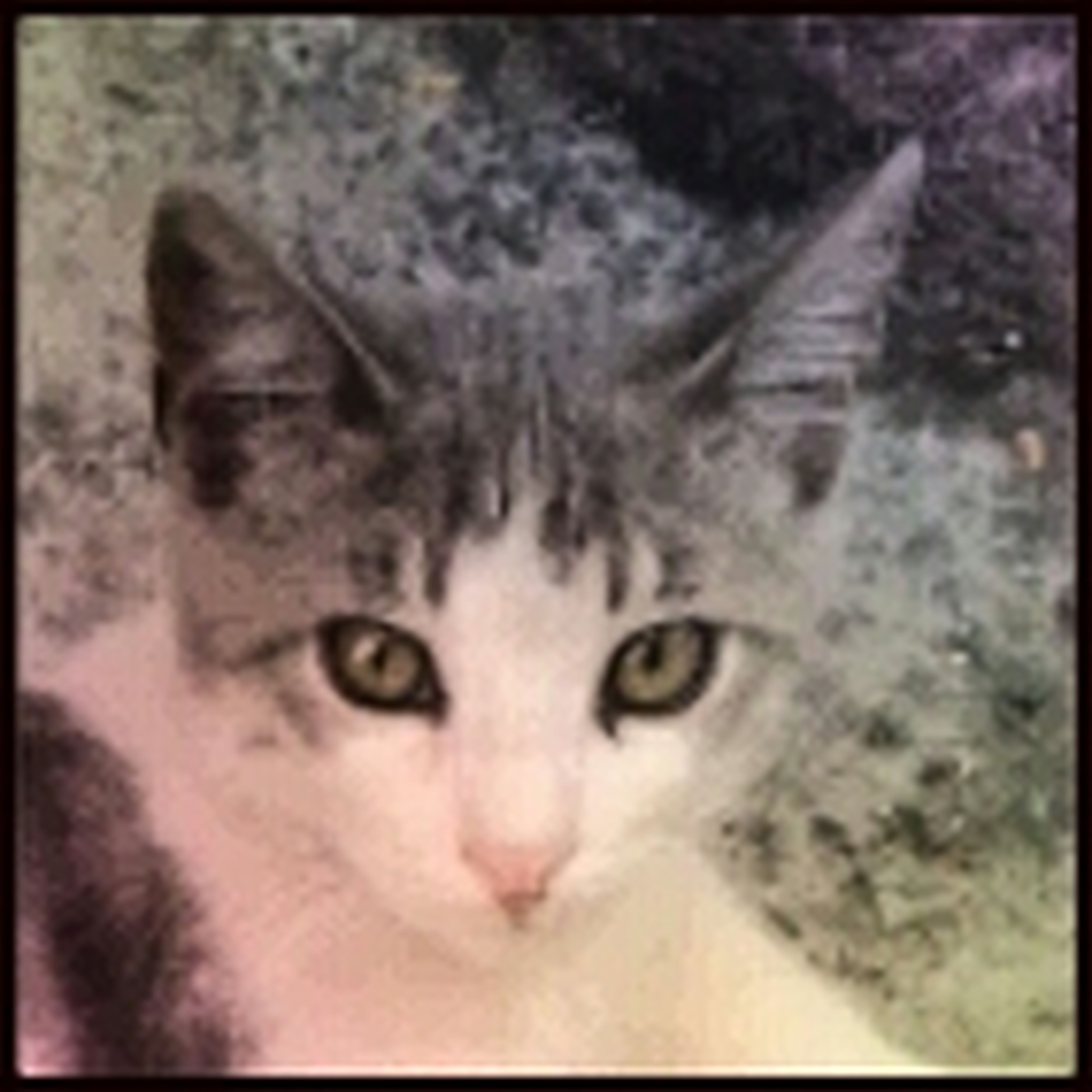 transfer print, auto post production filter, portrait, pets, looking at camera, one animal, animal themes, domestic animals, close-up, mammal, indoors, domestic cat, cat, animal head, front view, staring, whisker, animal body part, no people, feline