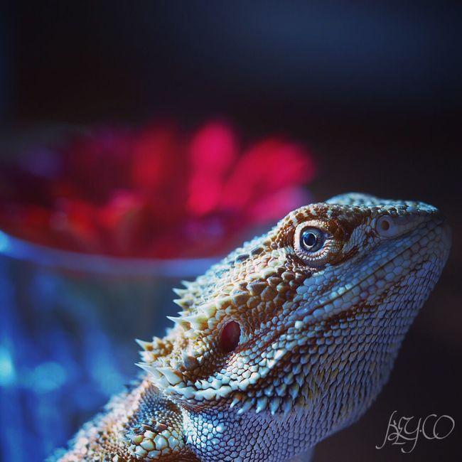 ケロち♥ Bearded Dragon Pogona Lizard Reptile