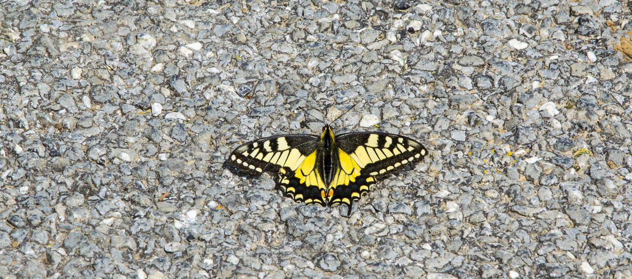animal themes, one animal, insect, animals in the wild, animal wildlife, butterfly - insect, outdoors, day, no people, nature, animal markings, close-up