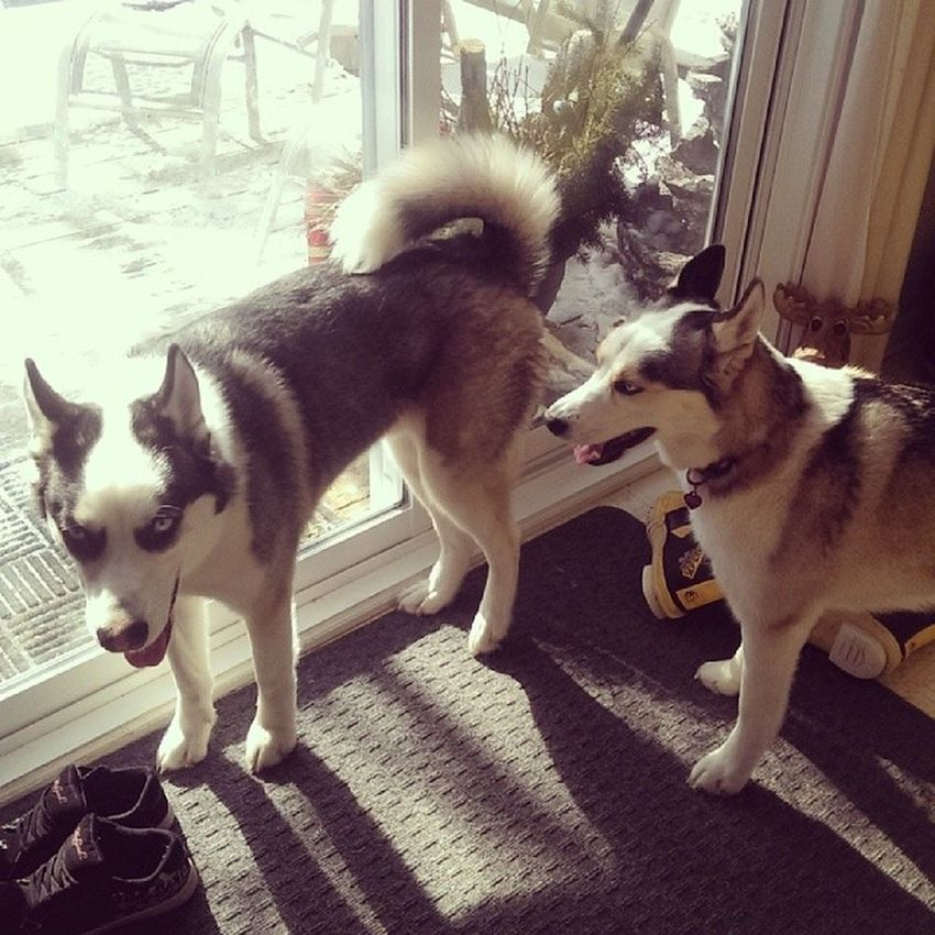 Dog sitting these beautiful animals this weekend <3 Huskies Huskylovers Husky Dogs animals animallover