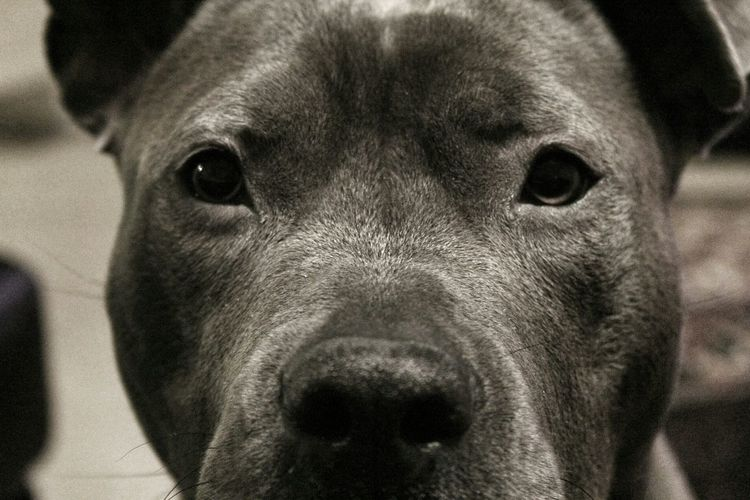 Man's best friend My Bluepit  Pitbull Pitbull Love Pitbullterrier PitBullNation Pitbulllife
