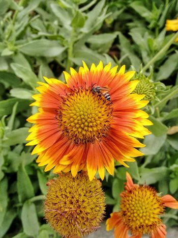 Flower And Bee Bee Bee On Flower Flower Freshness Fragility Flower Head Insect Petal One Animal Beauty In Nature Close-up Growth Animals In The Wild Wildlife Animal Themes Yellow Pollination Nature Plant Season  Focus On Foreground Vibrant Color