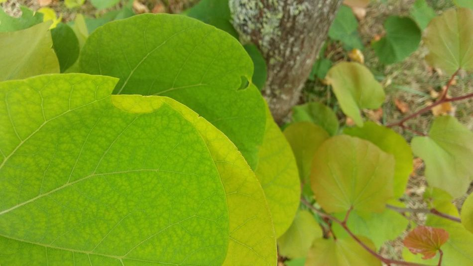 Multiple leaf 3XSPUnity Beauty In Nature Close-up Day Freshness Green Green Color Green Color Growth Growth Leaf Leaf Vein Nature No People Outdoors Plant Tree