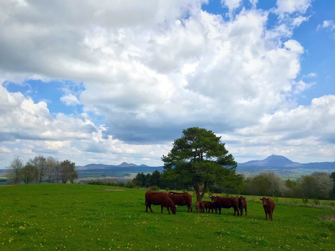 Auvergne France Cows Cow Enjoying The View Chainedespuys From My Point Of View Tree Sky Collection Clouds And Sky