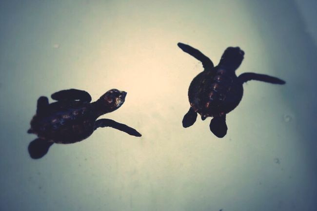Baby turtles, duet Swimmer Zoology Exploration Focus On Foreground Animal Themes Duet Swimming Baby Turtles