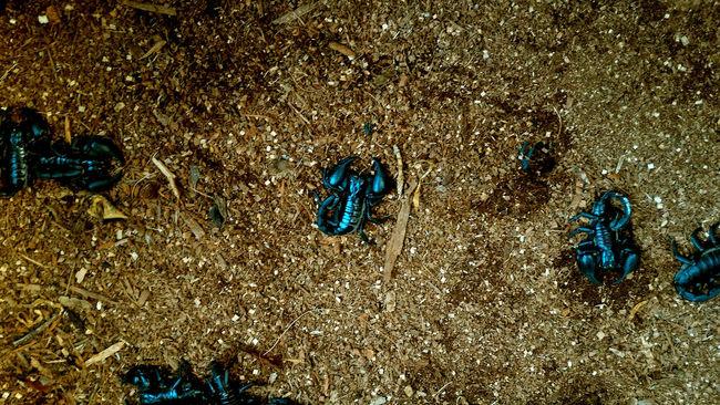Scorpion Animal Themes Dangerous Full Frame Sand Scorpions Textured  Thailand Toxic