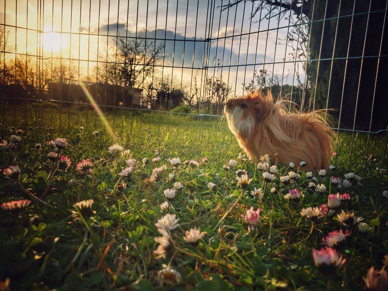 Beautiful stock photos of guinea-pigs, Animal Themes, Animal Wildlife, Animals In The Wild, Field