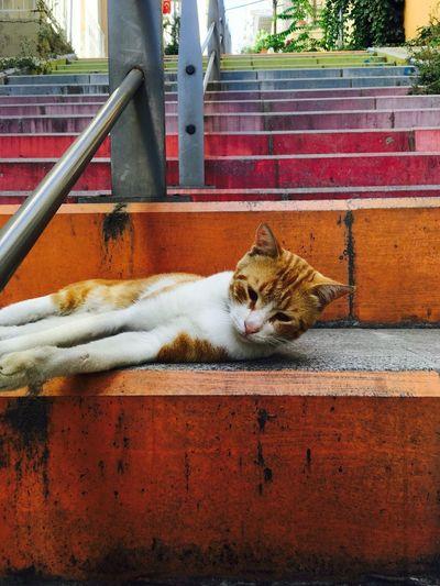 Cat Yellowcat Domestic Cat Cat Feline Pets Animal Themes Mammal Domestic Animals Sitting One Animal Outdoors Day No People